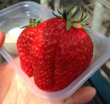 巨大なイチゴ
